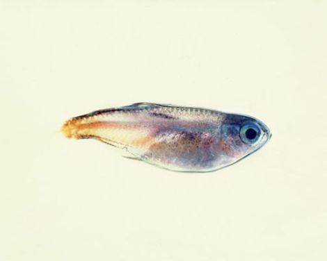 თევზის უხერხემლო მონატრება